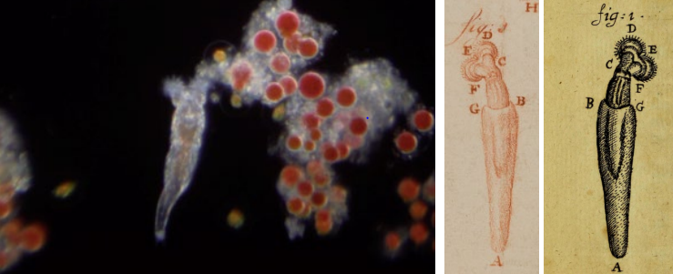 Photo of a rotifer taken through an original 17th century microscope. Next to it two early 18th century scientific illustrations of the rotifer.